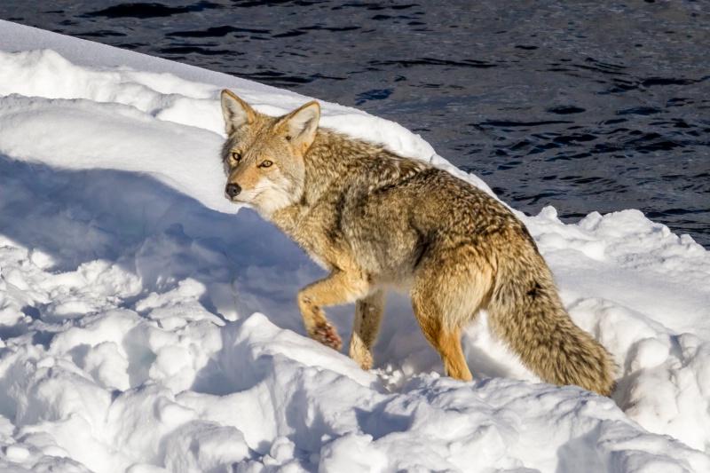 Coyote  8884