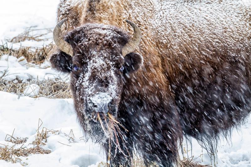 Snowing On Bison  9906