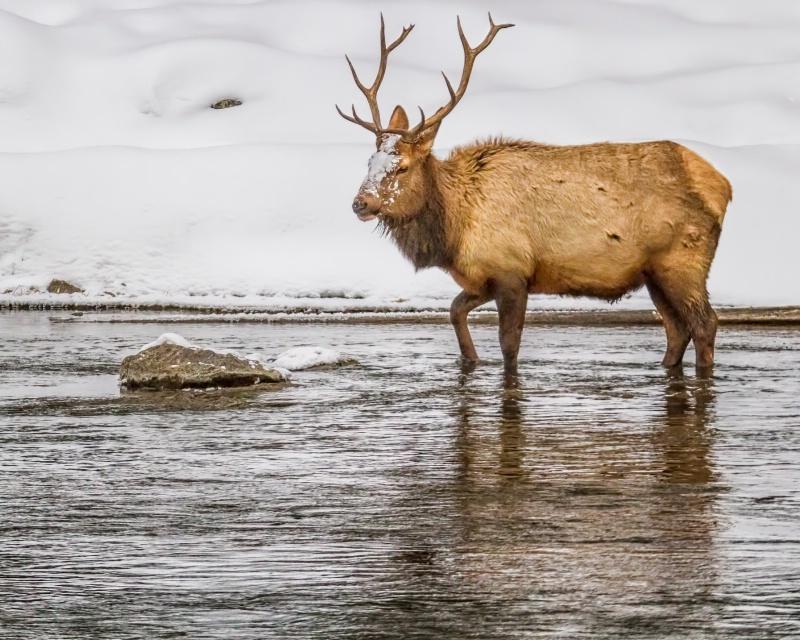 Winter Elk 9411