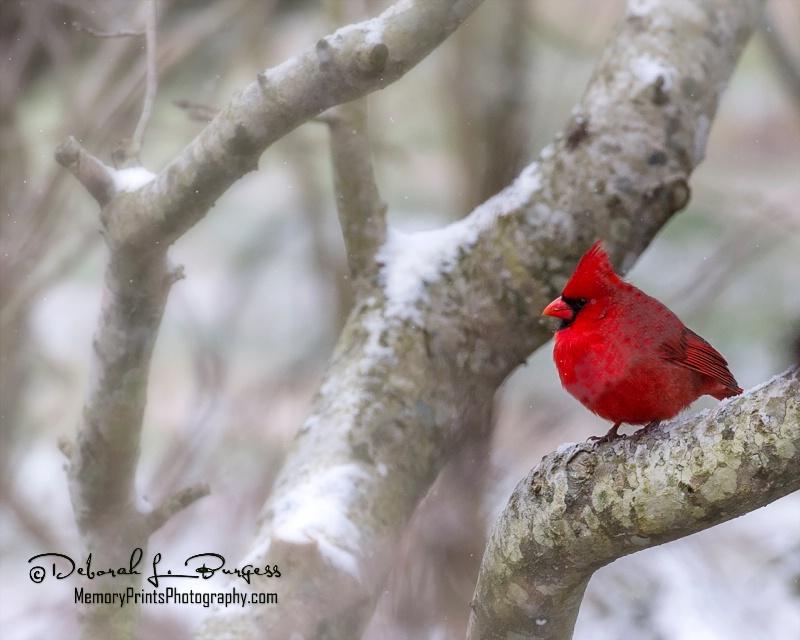 """""""Cardinal Snow"""""""