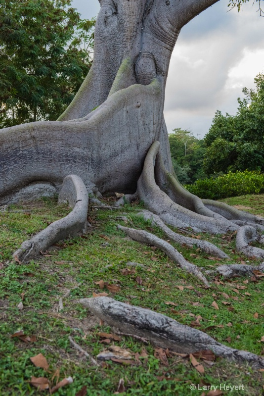 Beautiful Old Tree in Puerto Rico
