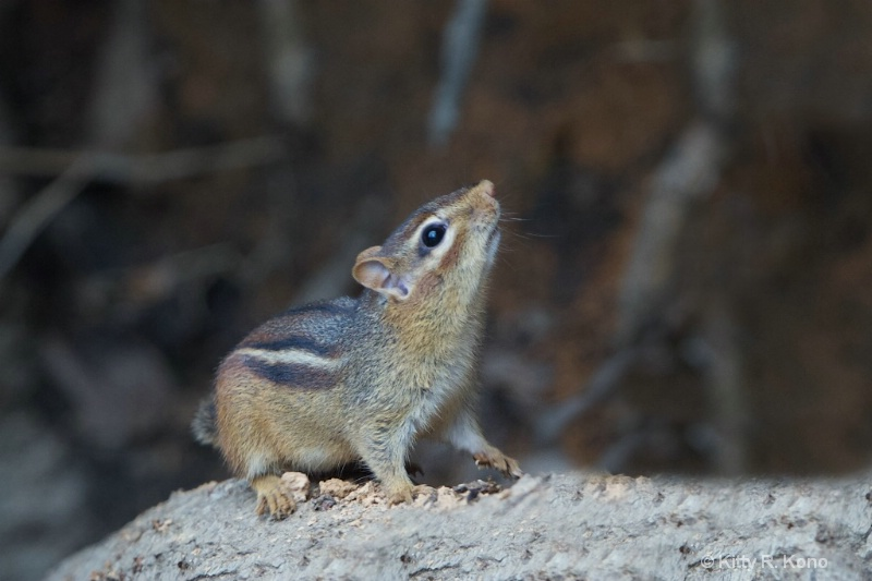 Chipmunk with his Nose in the Air