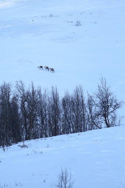 Three Reindeers