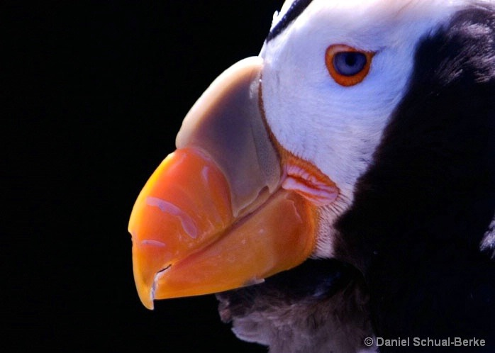 Crested Puffin