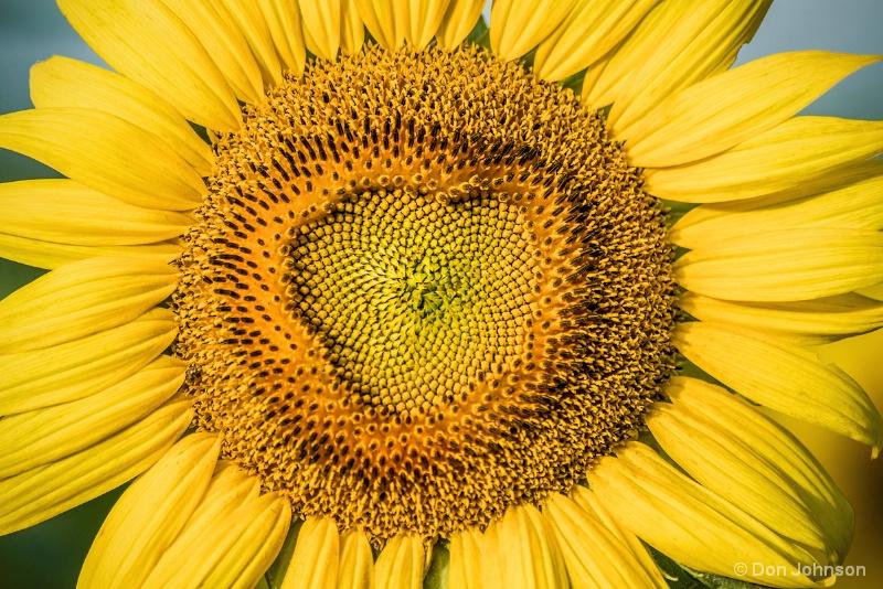 Sunflower Macro 7-10-15