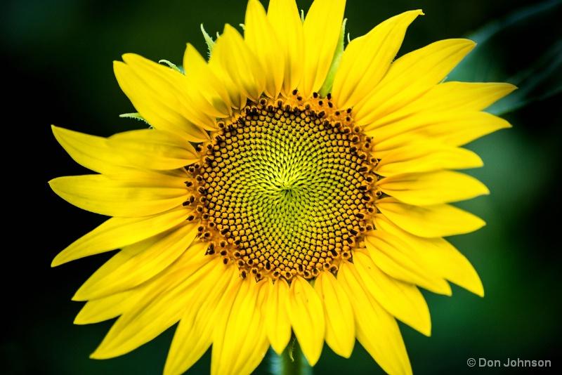 Beauty of a Sunflower 7-10-15 087