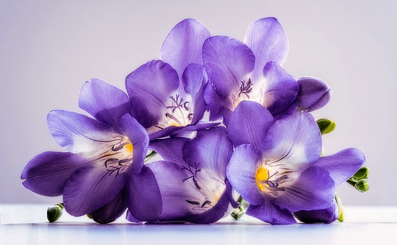 Purple freesias
