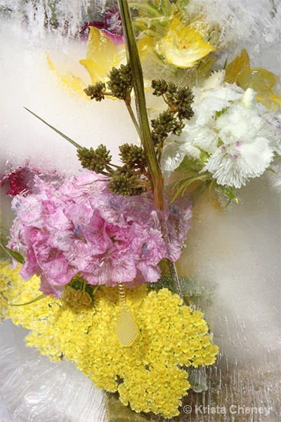Yarrow & Sweet William in ice II