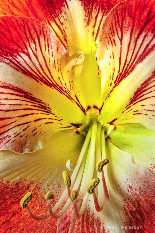 inside view of Amaryllis