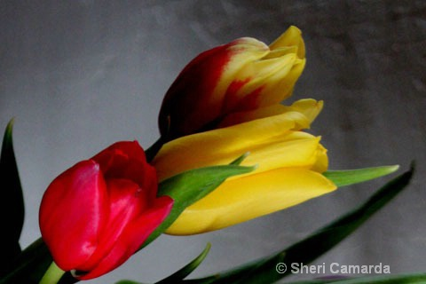 Tulips for Ruth
