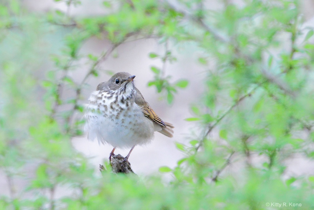 Hermit Thrush Through the Branches