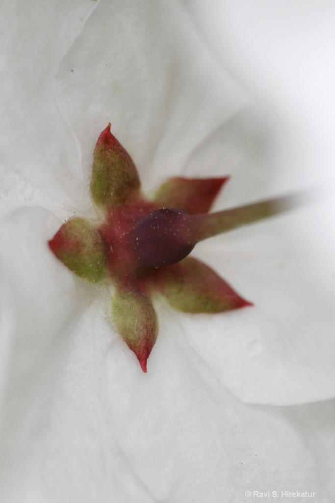 Callery Pear Flower