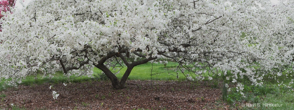 Callery pear Bloom