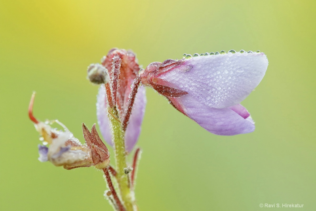 Showy Tick Trefoil flower