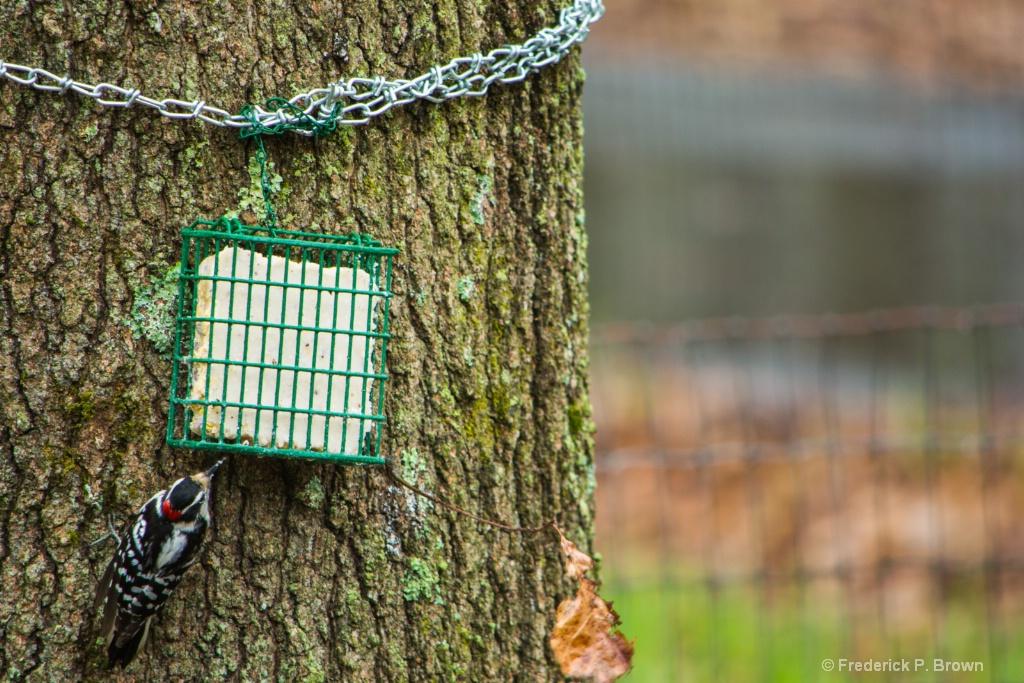 Woodpecker-1-1