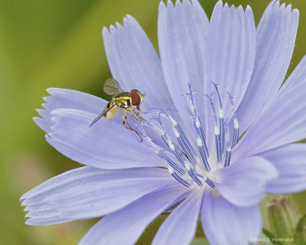 Hoverfly on Chickory Flower