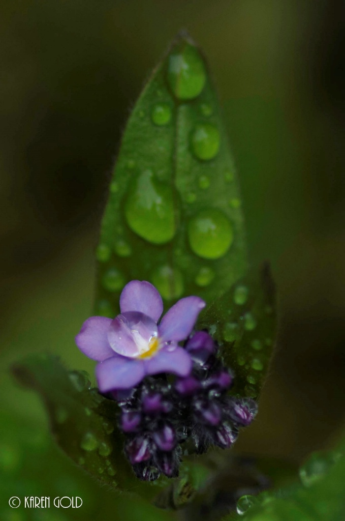 Forget-Me-Nots and Raindrops.