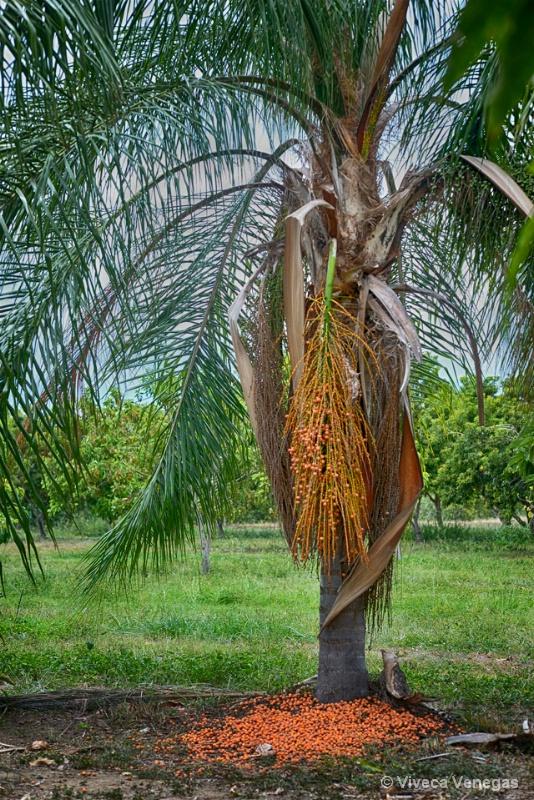 Palma Plumoso