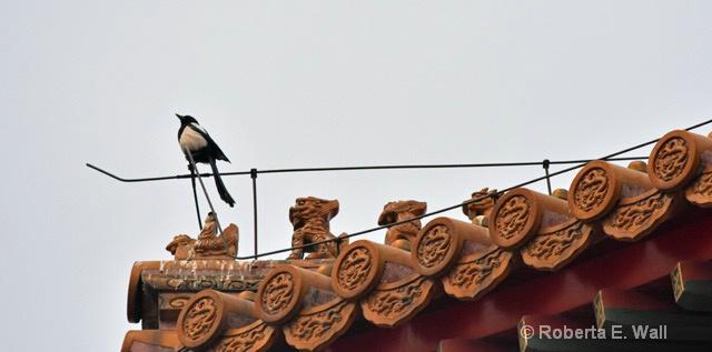 magpir in Forbidden City