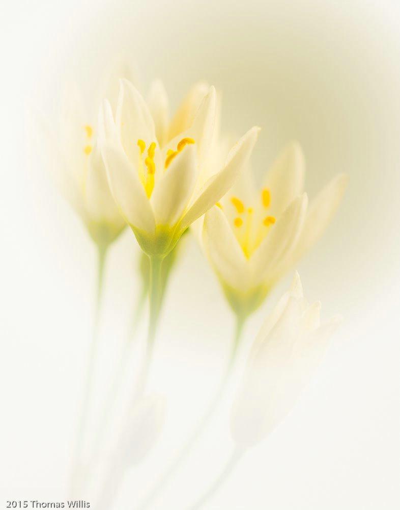 Wild Onion Bloom
