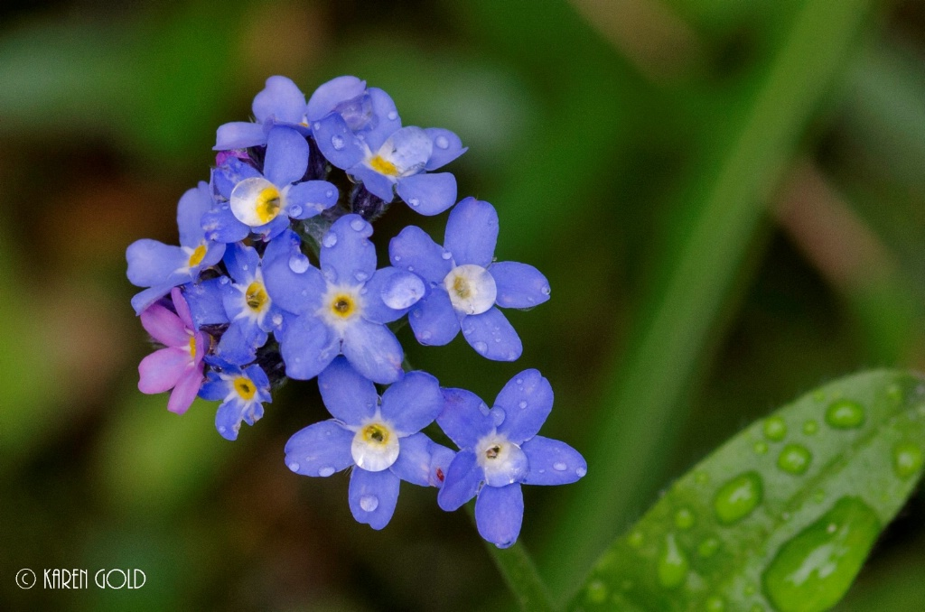 Forget Me Nots and Raindrops.