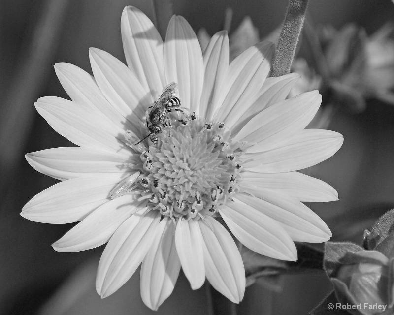 bee and flower in black and white