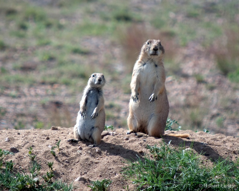 Prairie Dog Twins