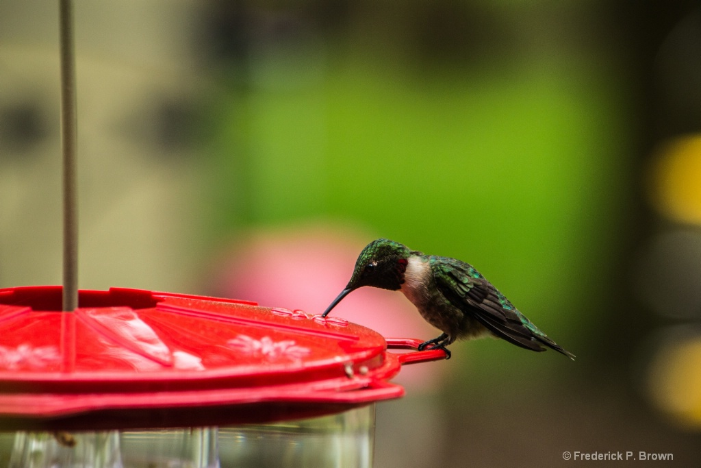 Ruby Throated Humming Bird-1-1