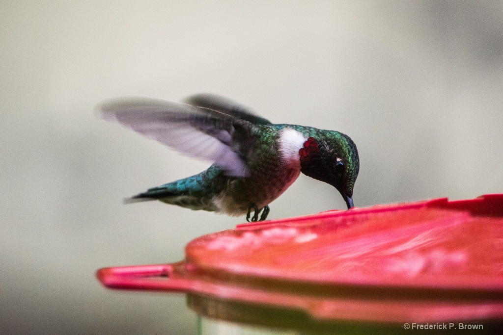 Ruby-Throated Humming bird3-1-1