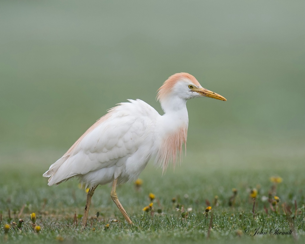 Cattle Egret - May 10th, 2015