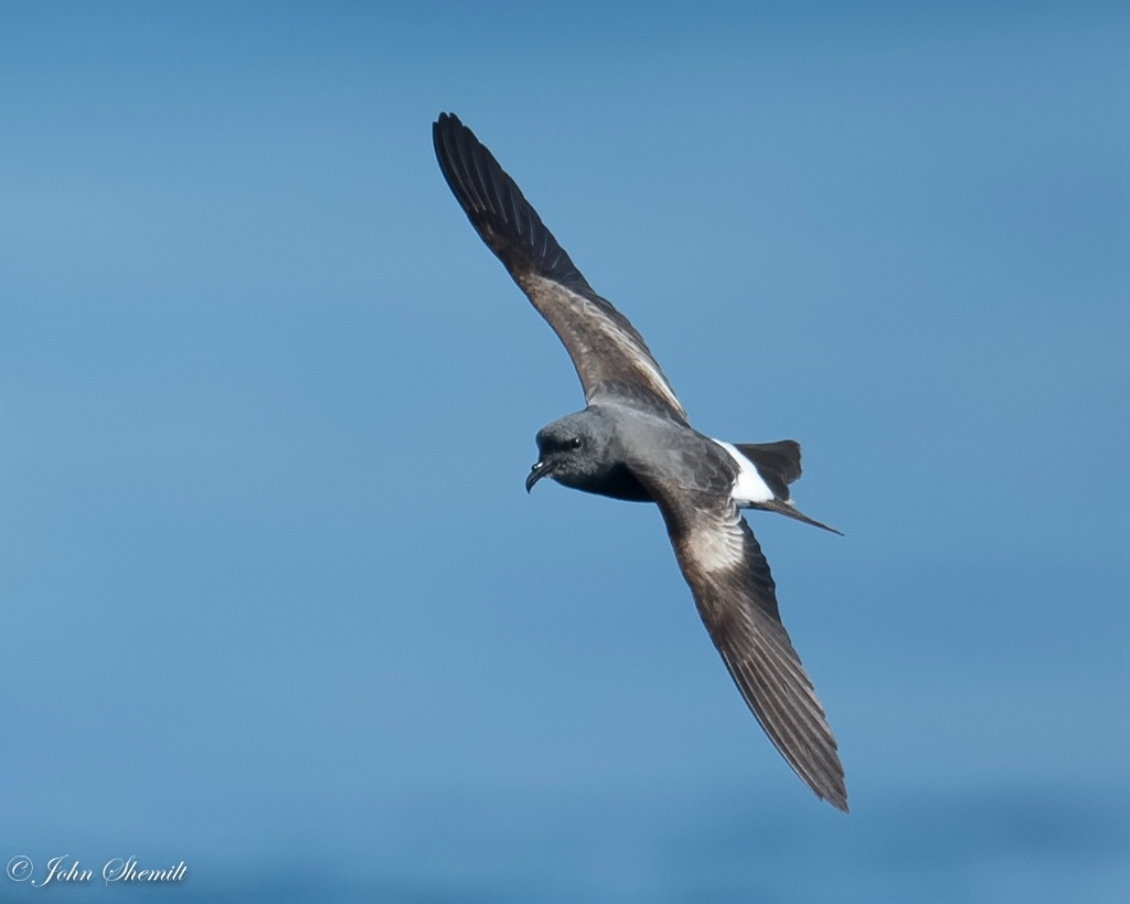 Leach's Storm-petrel - May 29th, 2016