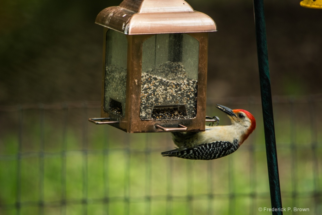 Woodpecker at the bird feeder--1-1