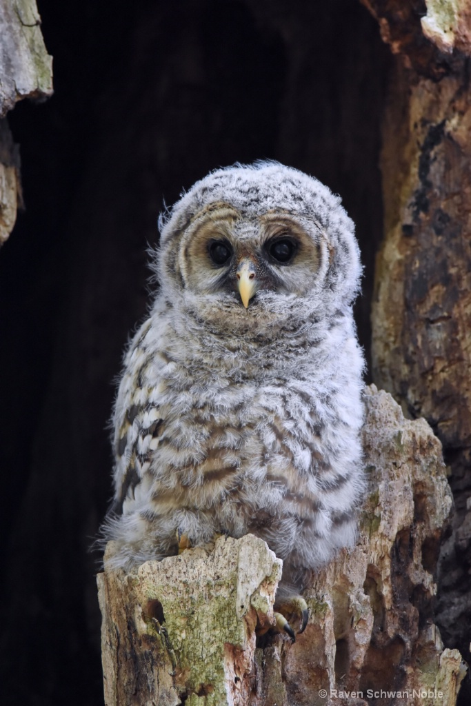 Barred Owlet #2