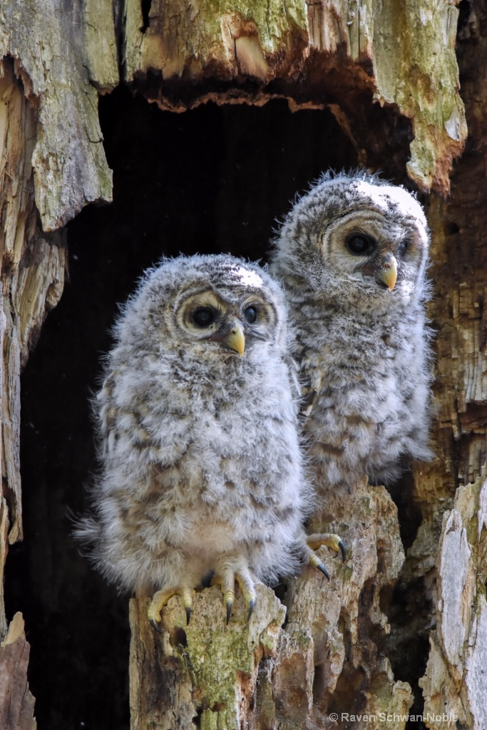 Barred Owlets~ People Watching