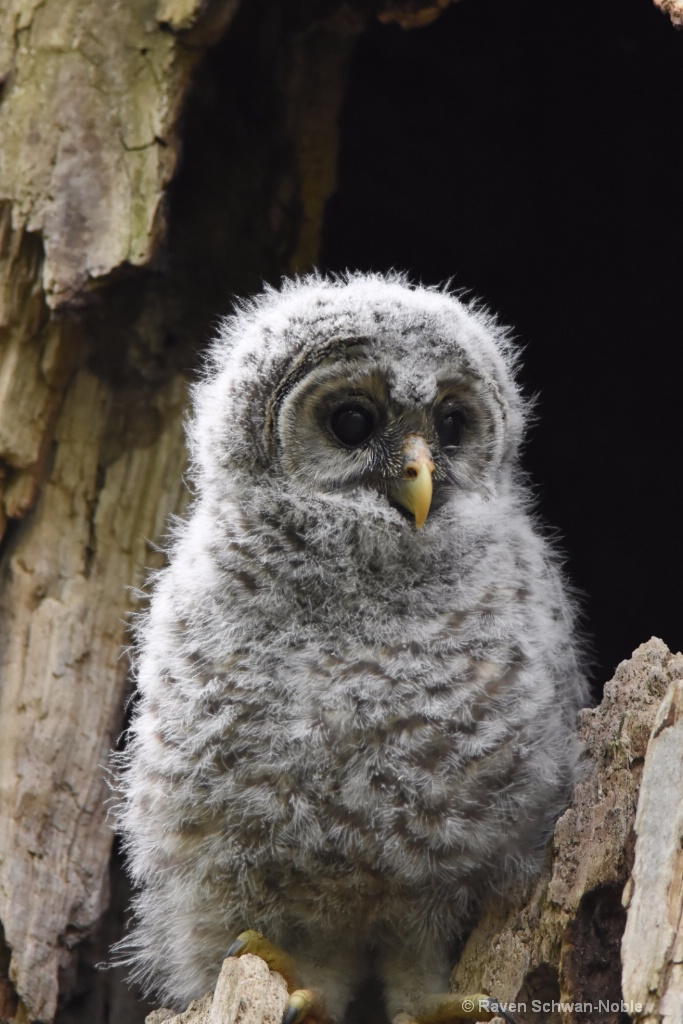 Barred Owlet 3
