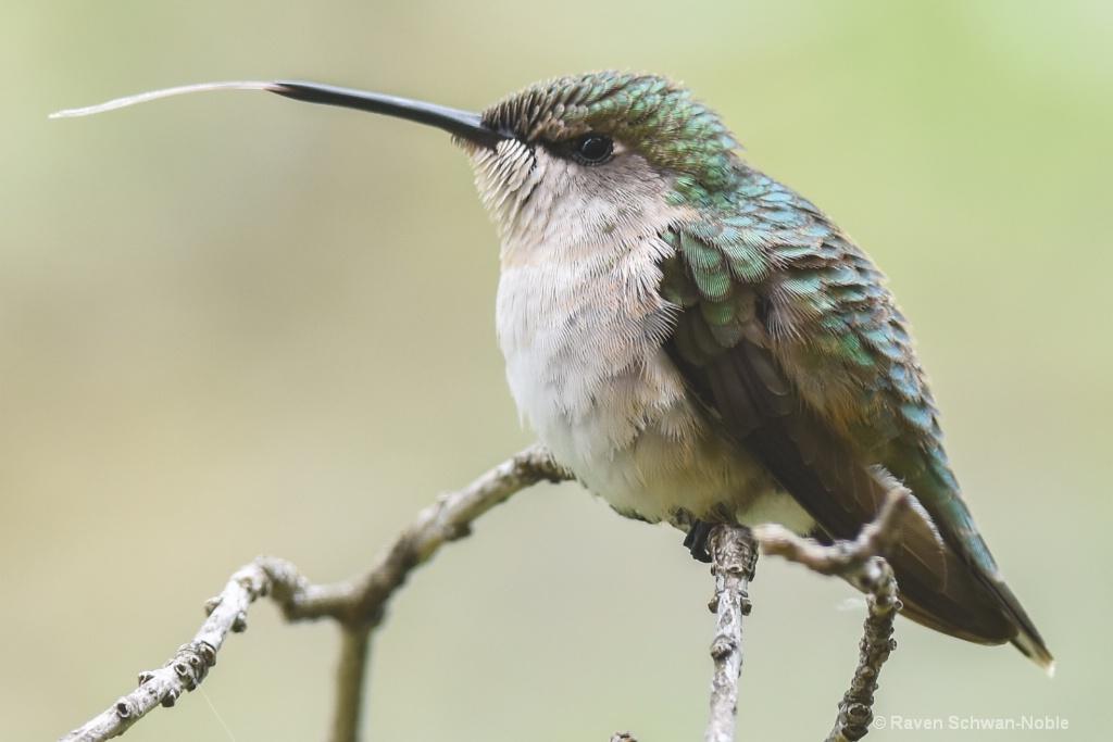 Ruby~throated Hummingbird.. Drinking in Air