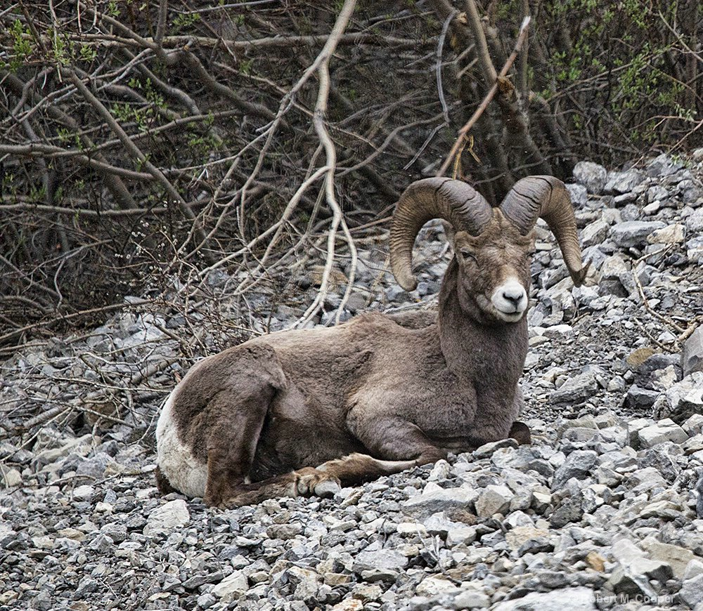 Big Horn Sheep - from the bus
