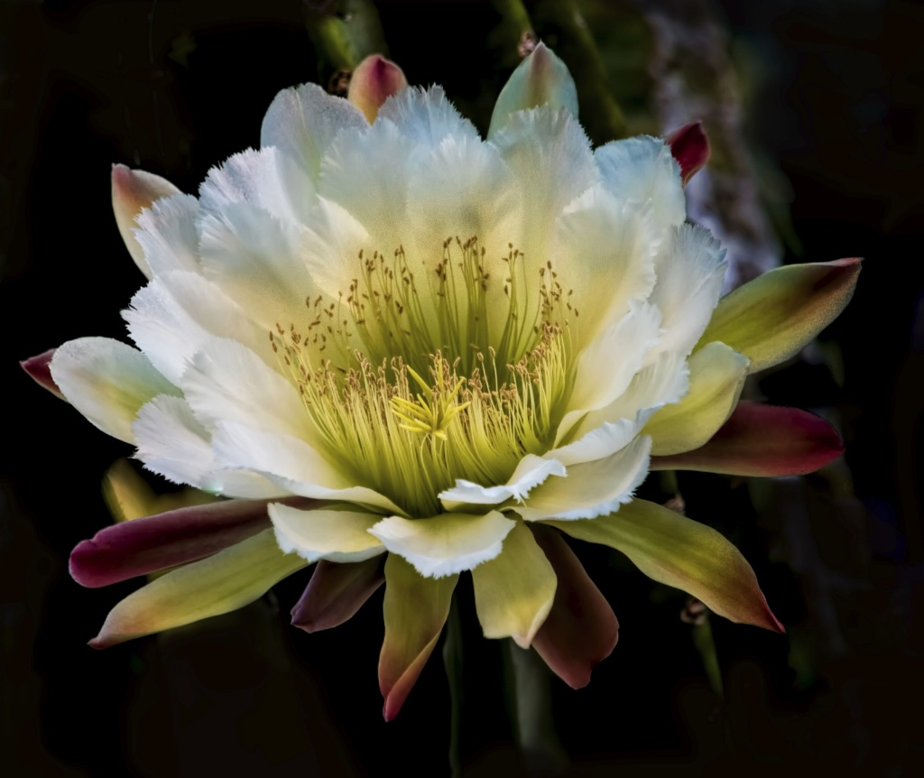 Night Blooming Cereus - St Petersburg, FL