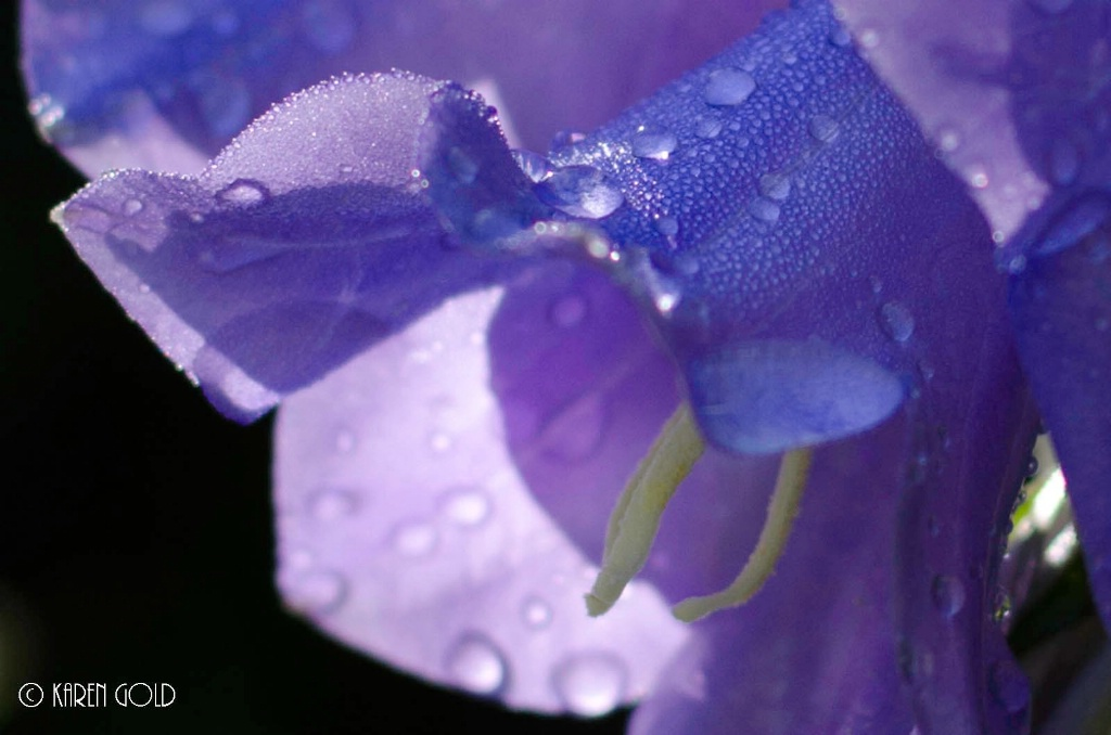 Bell Flower and Raindrops.