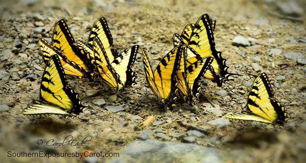 Swallowtails Puddling at Tremont