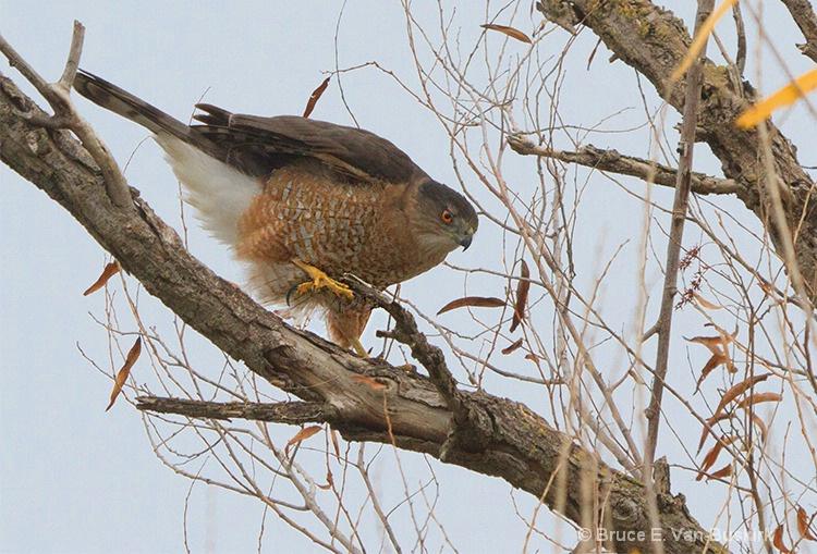 Female Harris hawk in Sacramento Wildlife reserve