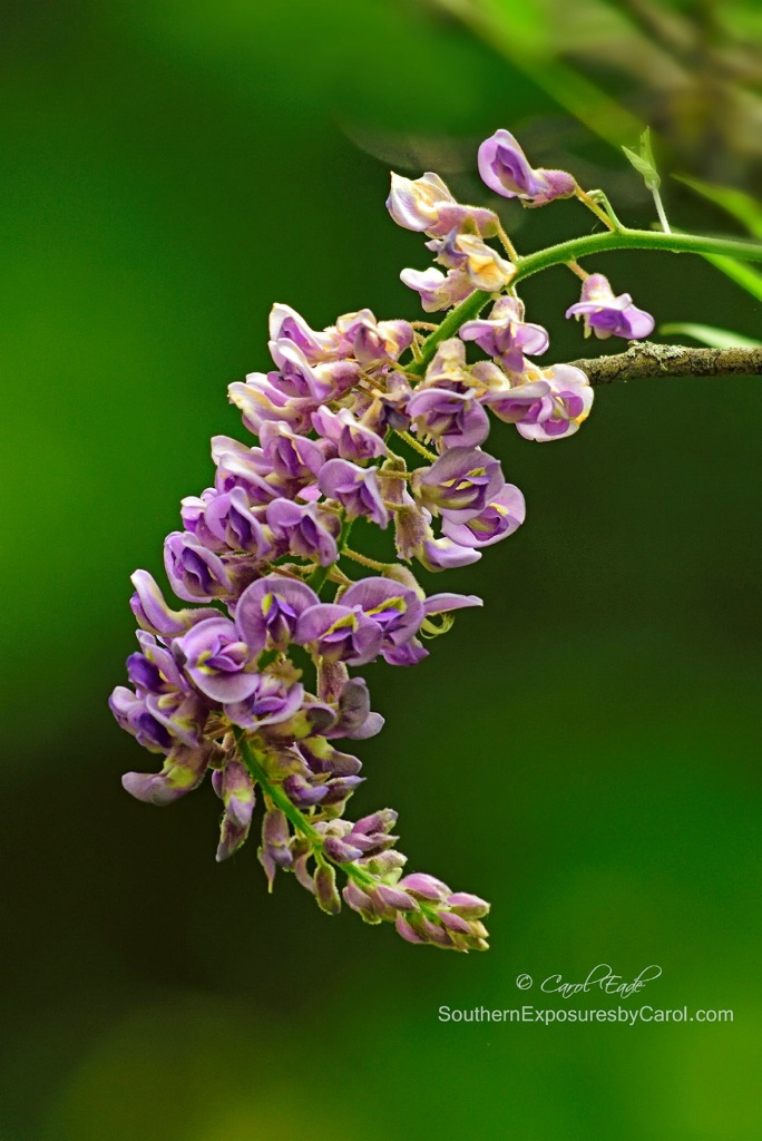 Wisteria at Little Greenbrier