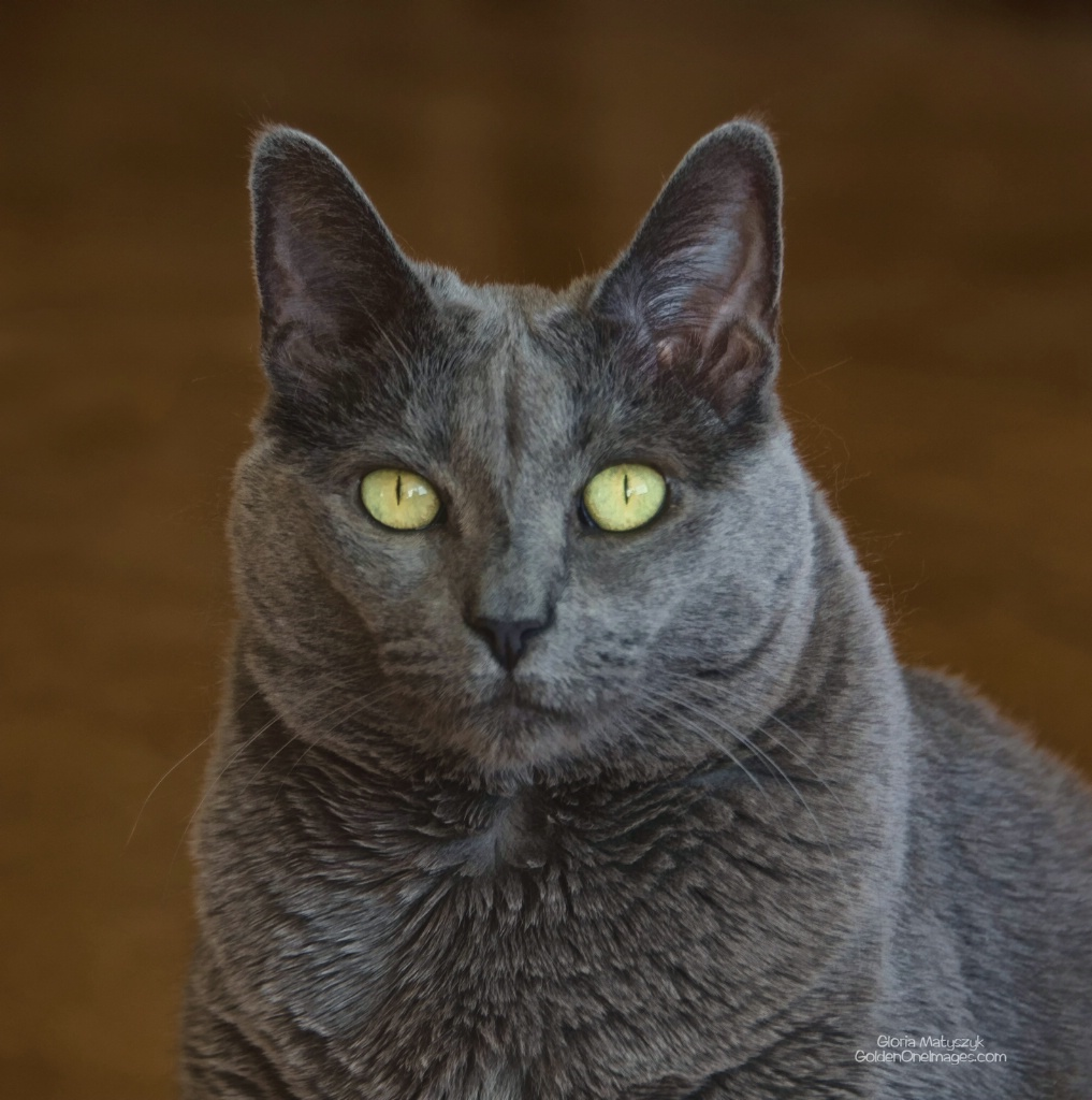 Russian Blue, Treasure Island, FL