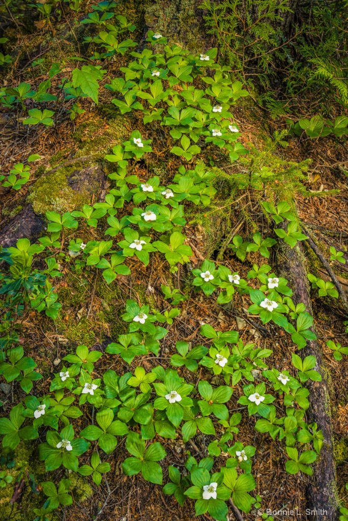 Bunchberry Dogwood 1 of 1