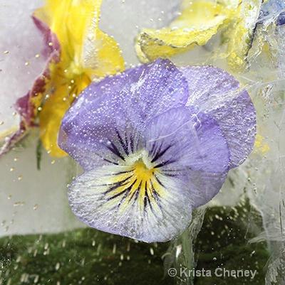 Violet in ice