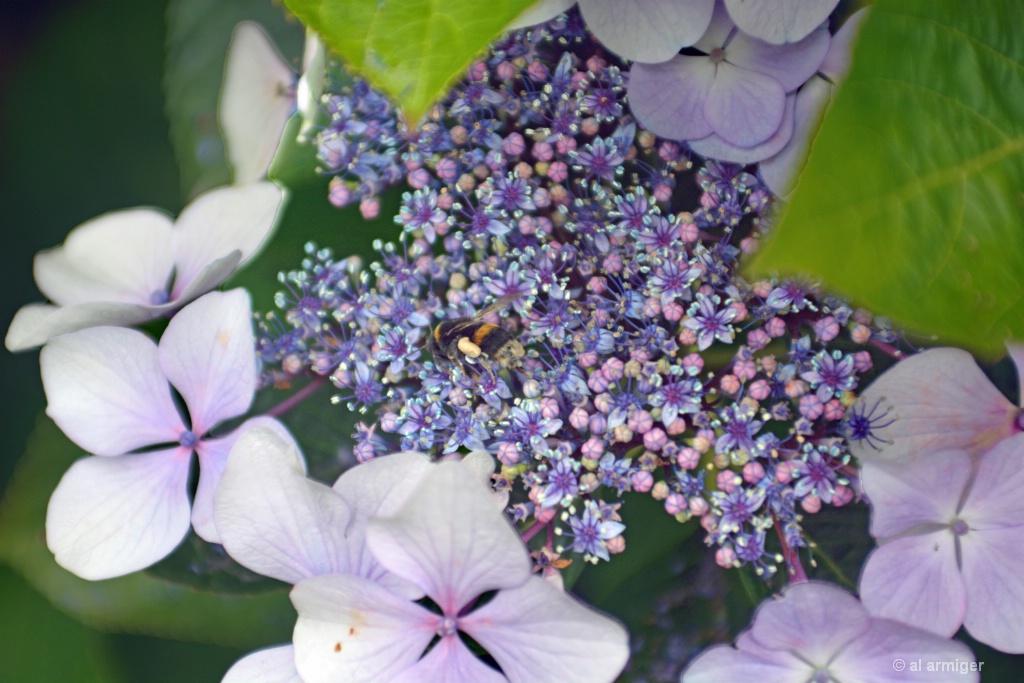 Hydrangea & a bee DSC 2671 psA