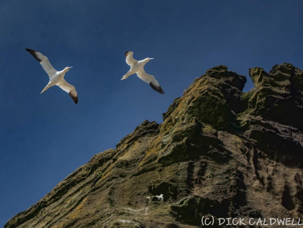 Birds  Vestamannaeyjar