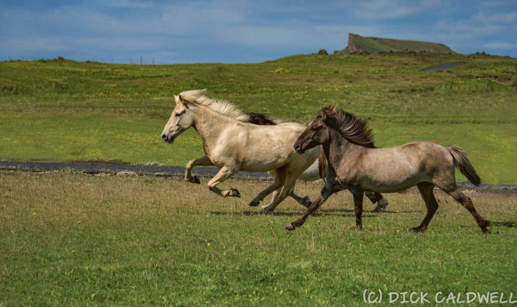 Icelandic horses are native to Iceland