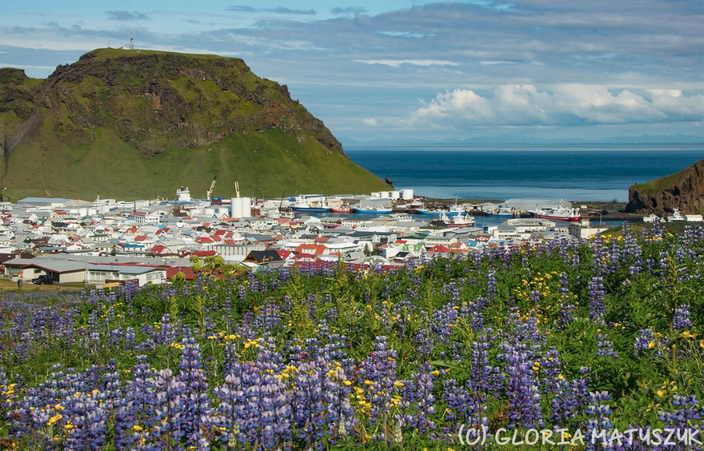 Lupine with the city and harbor  Vestmannaeyjar