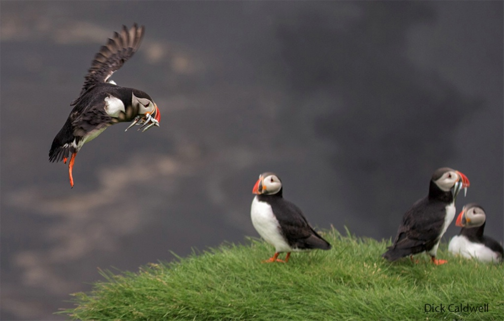 Puffins near Vik With fish